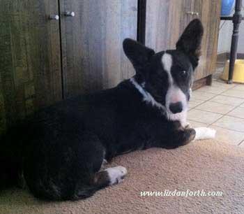Cardigan Welsh Corgis, dogs, pets
